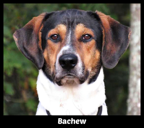 Bachew